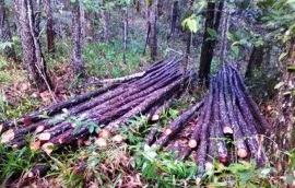Medio Ambiente someterá a la justicia a responsables de cortes ilegales de madera en La Vega